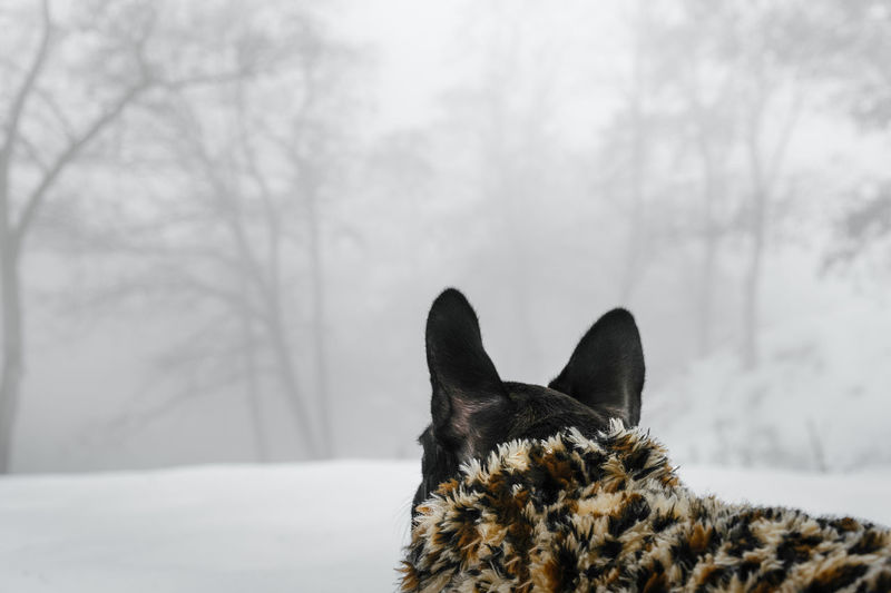 French Bulldog Frenchie Rear View Mist Misty Misty Forest Frenchbulldog Bouledogue Francais Animal Themes Animal Pet Clothing Puppy Domestic Animals One Animal Pets Snow Cold Temperature Winter Dog Close-up Foggy Deep Snow Extreme Weather Fog Frozen Weather Woods Weather Condition Cold