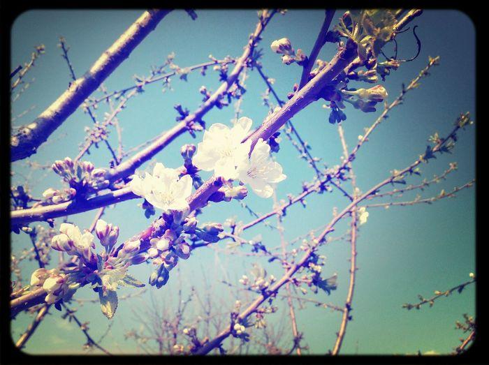 Nature Beautiful Nature Flowers Cherry Blossoms