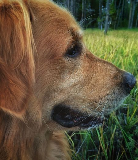 Our Cooper One Animal Dog Animal Themes Domestic Animals Pets Animal Head  Looking Away Close-up Brown Side View Alertness Curiosity Focus On Foreground Profile Mammal Animal Hair Day Zoology Looking No People