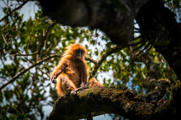 Red monkey Red Monkey Kinabalu National Park Sabah Borneo Island Trekking Leopard Tree Sitting Lemur Multi Colored