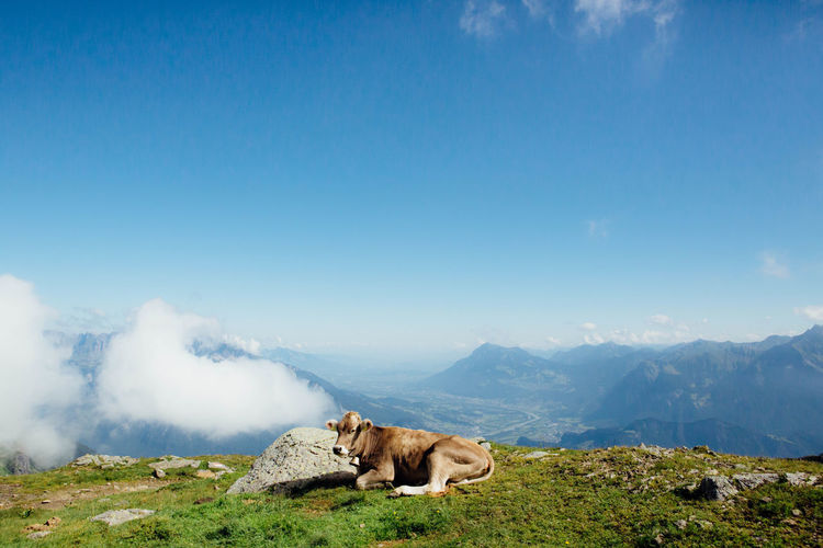 Cow Relaxing On Mountain Against Sky