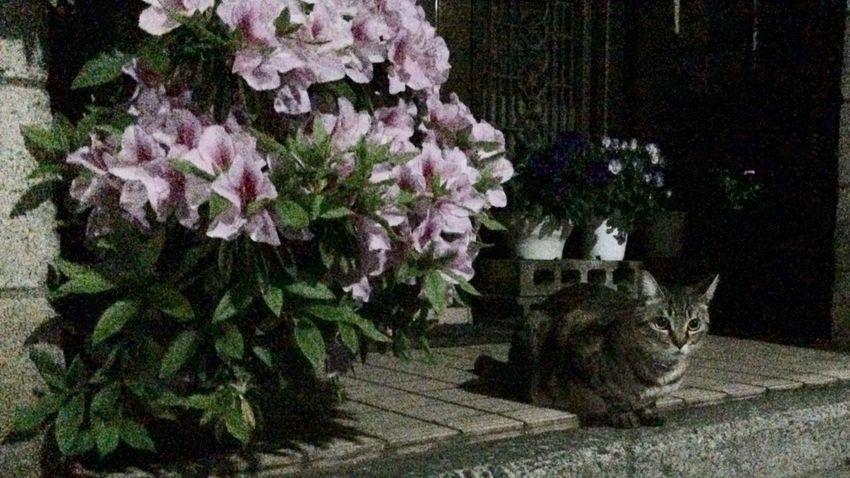 夜ねこ 花 キジトラ