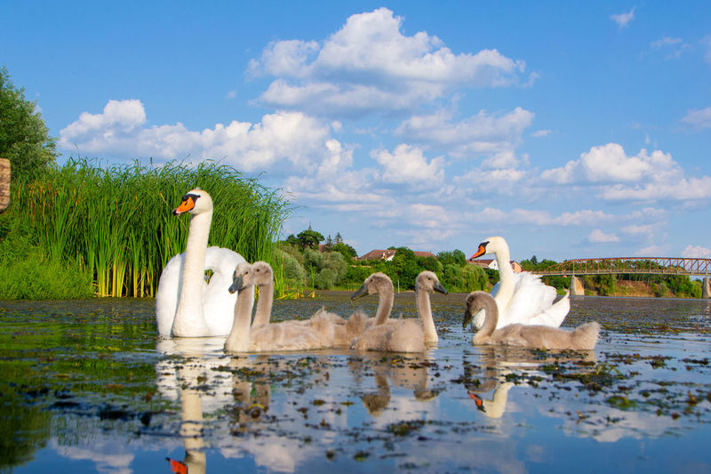 View of swans in lake against sky