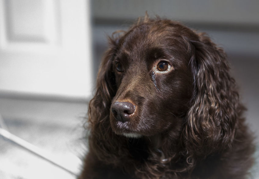 brian Spaniel Field Spaniel Brian Sad Dog Pets One Animal Domestic Animals Animal Portrait Long Hair Animal Themes Mammal Indoors  No People