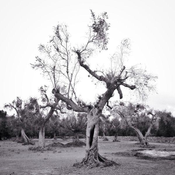 Olive Tree Sadness Blackandwhite Nature Nature Photography Desolation