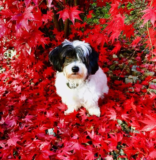 Autumn Pets Dog Red Domestic Animals Leaf Change EyeEm Ready   EyeEmNewHere EyeEmNewHere