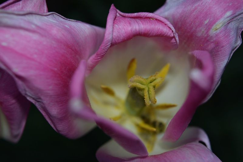 Close-up of pink day lily blooming outdoors