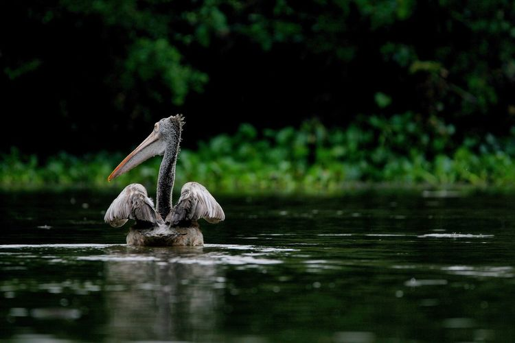 Cute Pelican Of Lake