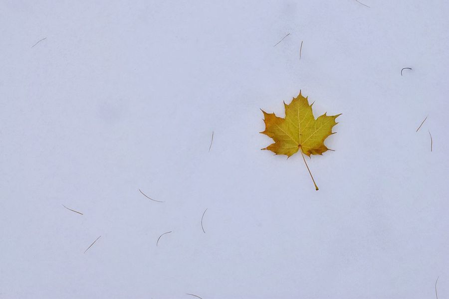 Leaf Autumn Change Dry Nature Fragility No People Maple Leaves Outdoors Close-up Day White Background Beauty In Nature Minimalism Snow Snow ❄ Snow Covered Simple Things Exceptional Photographs Nature