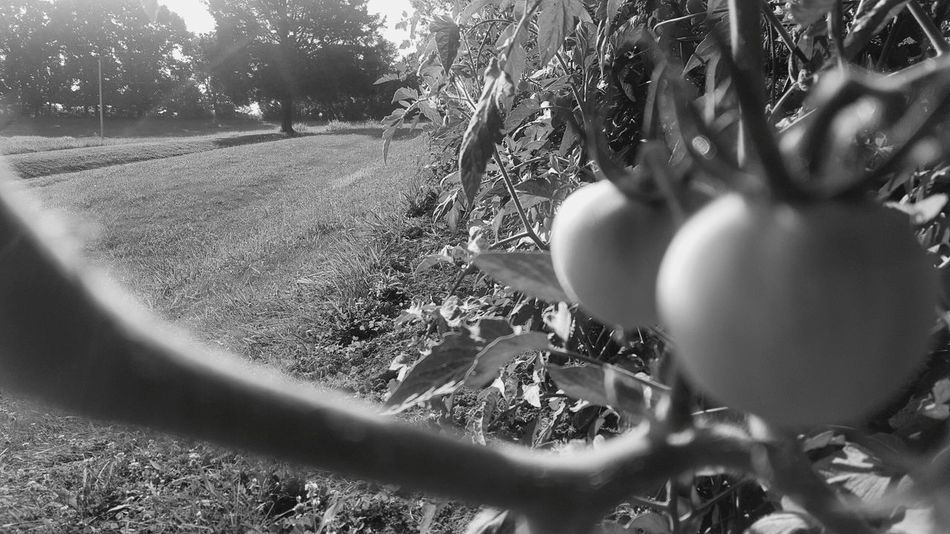 Tomatoes Garden Monochrome Black & White Out Of The Garden Summertime