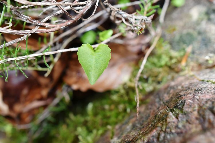 LOVE HEART LEAF Nature Outdoors Selective Focus No People Tree Day Forest Growth Close-up Plant Moss Tree Trunk Beauty In Nature Leaf Vine - Plant Fragility Fungus Freshness EyeEmNewHere Nature_collection Patterns Of Nature Art Is Everywhere Artistic Photo Springtime Love Heart
