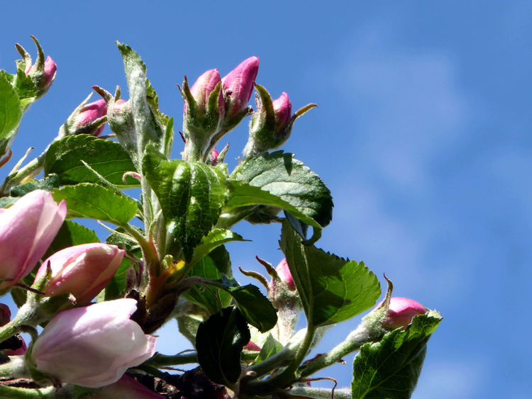 Maximum Closeness Beauty In Nature Low Angle View Springtime💛 For My Friends 😍😘🎁 Simple Beauty Beauty On My Doorstep Looking Up😍 Perfect Sky Tranquil Scene Apple Blossoms Eye4photography Photooftheday  Enjoy The Little Things