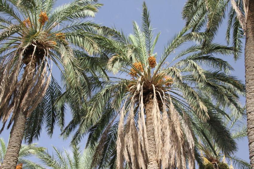 Palmen in Tozeur, Tunesien. Nature Outdoors Palm Tree