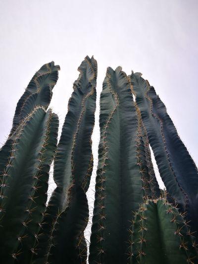 กระบอกเพ็ชรยักษ์ Cactus Flower Cuctus Green Color Nature Beauty In Nature Sky Low Angle View GrowthOutdoors Tree_collection  Trees And Sky Treehouse Eyeemphotography Inthailand Huaweiphotography Huawei P9 Leica