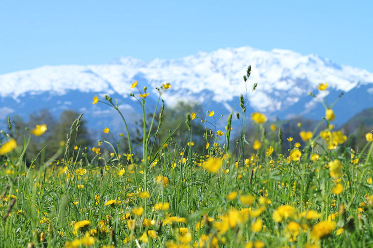 Close-up of fresh yellow flowers in field against sky