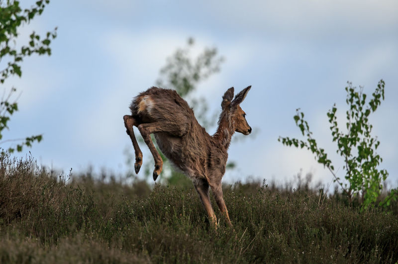 Low Angle View Of Deer Jumping On Grassy Field
