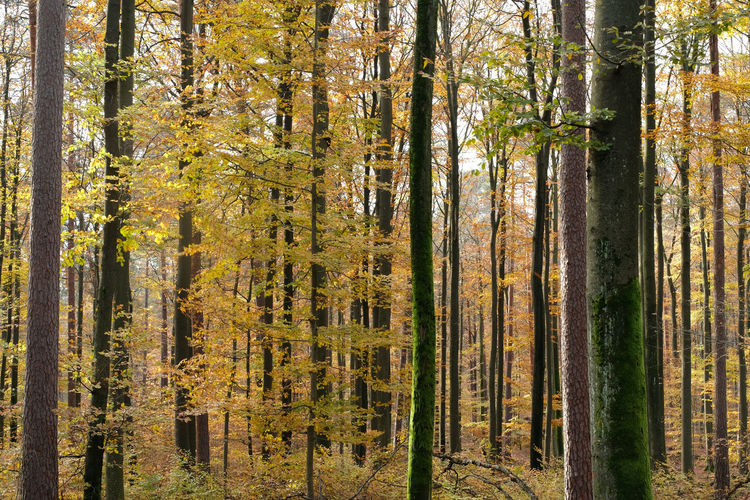Close uo mixed coniferous forest. broadleaf trees and tree trunks with autumn colour background.