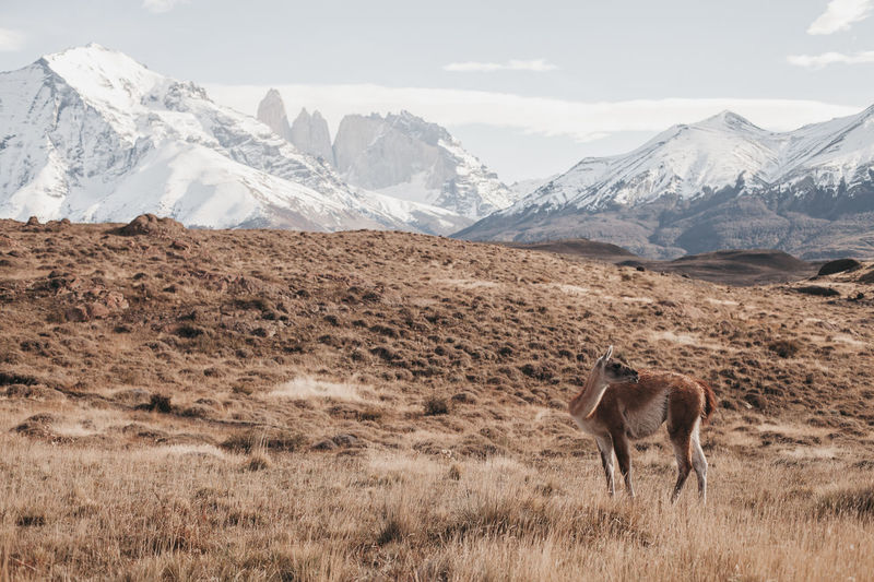 Deer Standing On Landscape Against Snowcapped Mountains