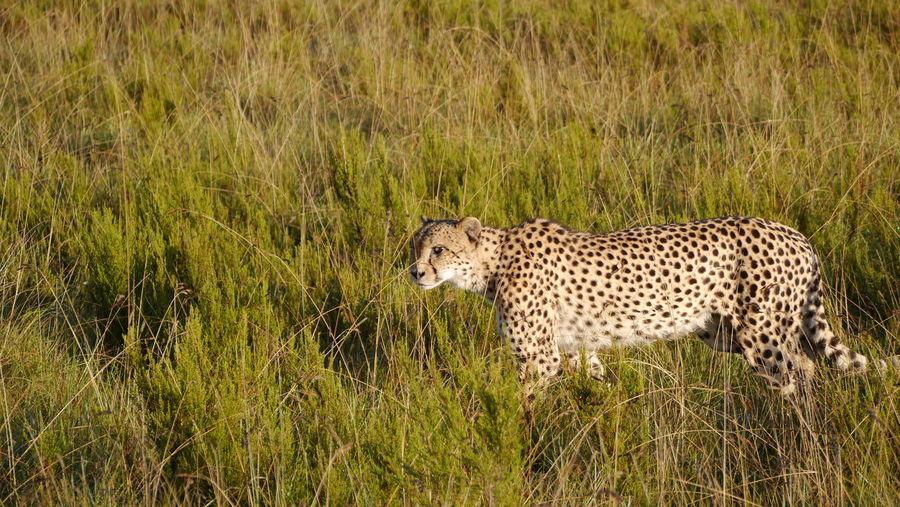 Side view of a leopard walking on grassland