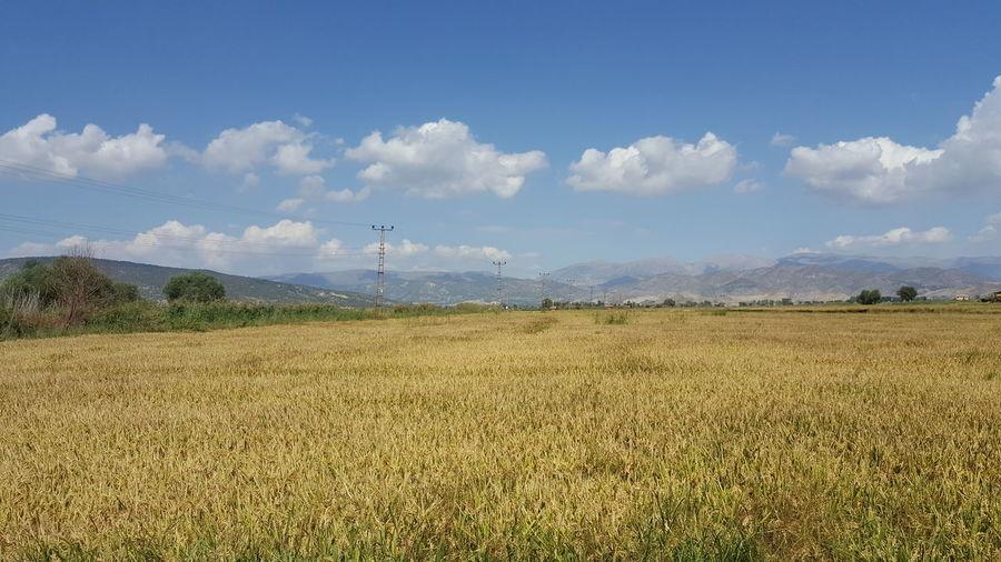 Pirinç Ekin çeltik Arazi Yeşillik