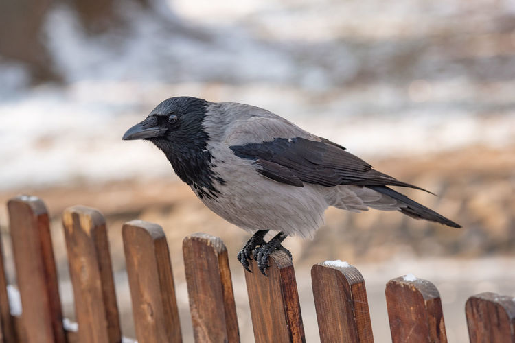 Carrion Crow (Corvus corone) in the city Carrion Crow Corvus Corone Bird Animal Wildlife Vertebrate Animals In The Wild One Animal Animal Animal Themes Perching Fence Barrier Boundary Wood - Material Focus On Foreground Day No People Protection Security Close-up Wooden Post Post Outdoors