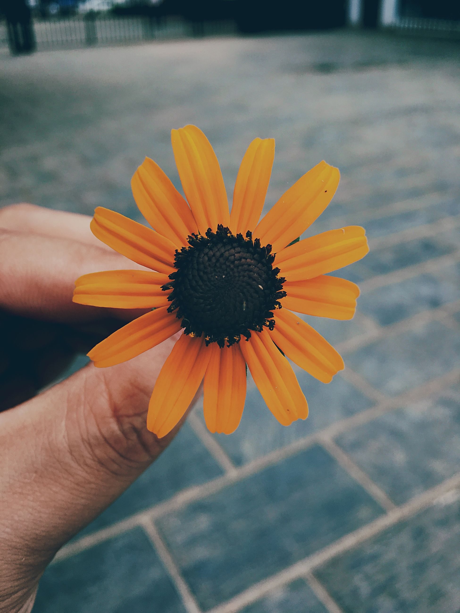 person, holding, flower, part of, cropped, human finger, unrecognizable person, focus on foreground, petal, fragility, close-up, freshness, flower head, personal perspective, yellow, pollen, daisy, selective focus, lifestyles, outdoors, day, nature, beauty in nature, stamen, detail, botany, softness