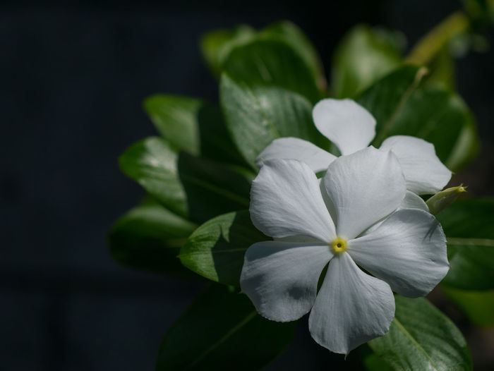 Blooming Flower Fresh Garden Green Growth Leaf Leaves Nature Petal Plant Soft Space Sunny White