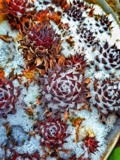 sempervivum Robust Plant In Winter Snow Sempervivum Frozen Nature Backgrounds Multi Colored Full Frame Close-up First Eyeem Photo Detail Snow Covered Plant Life Textured  Winter