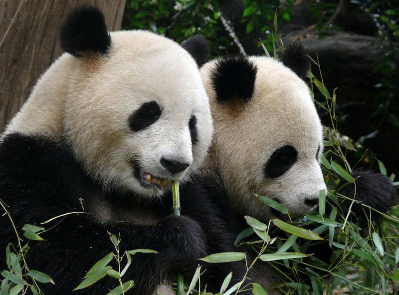 Bamboo Chengdu China Conservation Eating Endangered Species Mammal Panda PANDA ♡♡ Pandas♥ Side View Sitting Wildlife Wwf Zoo Zoo Animals  Zoology Two Is Better Than One