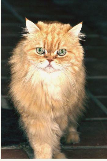 Cat attitude Pet Portraits