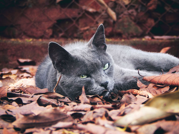 Close-up portrait of cat on dry leaves