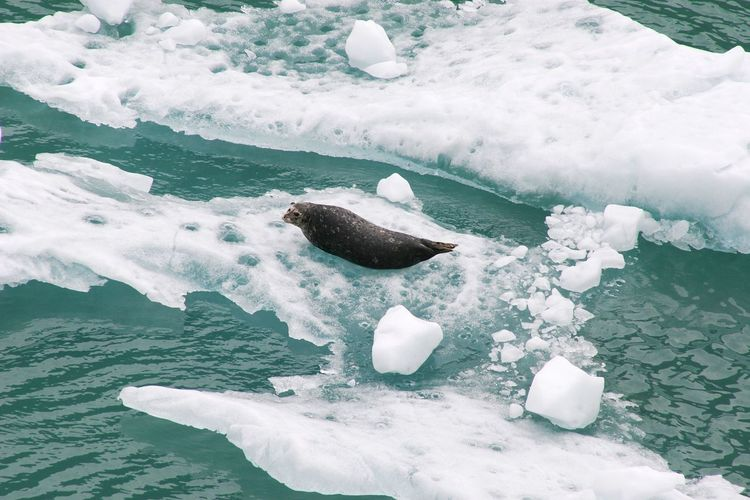 Seal sunning and relaxing on the ice floe in alaska.