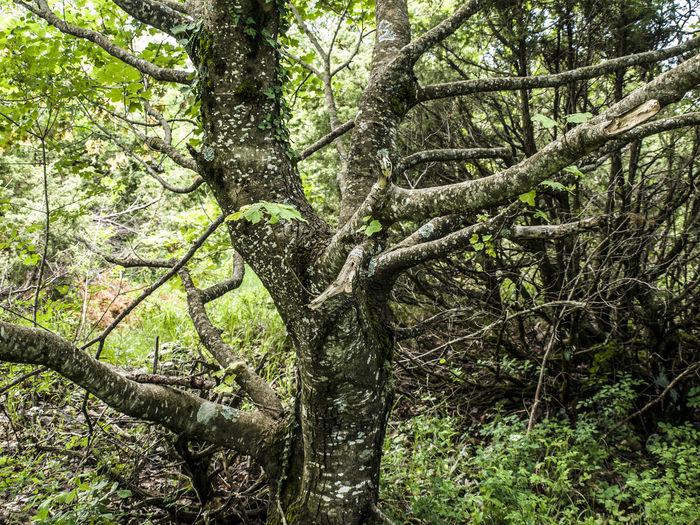 sharp tree Tree