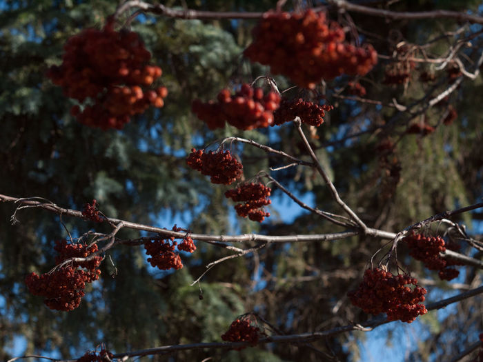 Beauty In Nature Berry Berry Fruit Branch Close-up Day Forest Freshness Fruit Growing Growth Hanging Nature No People Outdoors Plant Red Ripe Season  Springtime Tranquility Tree Twig Weather