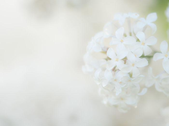 Beauty In Nature Cherry Blossom Close-up Copy Space Day Flower Flower Head Flowering Plant Fragility Freshness Indoors  Inflorescence Nature No People Petal Plant Purity Selective Focus Springtime Vulnerability  White Color