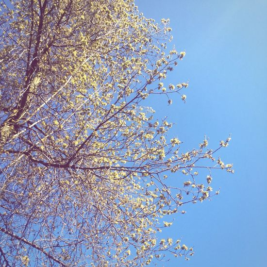 Blue Sky Blue Sky Tree Branches Yellow Yellow Flowers Flowers Amsterdam Spring The Great Outdoors With Adobe The Essence Of Summer Fine Art Photography TakeoverContrast The Great Outdoors - 2017 EyeEm Awards An Eye For Travel Colour Your Horizn