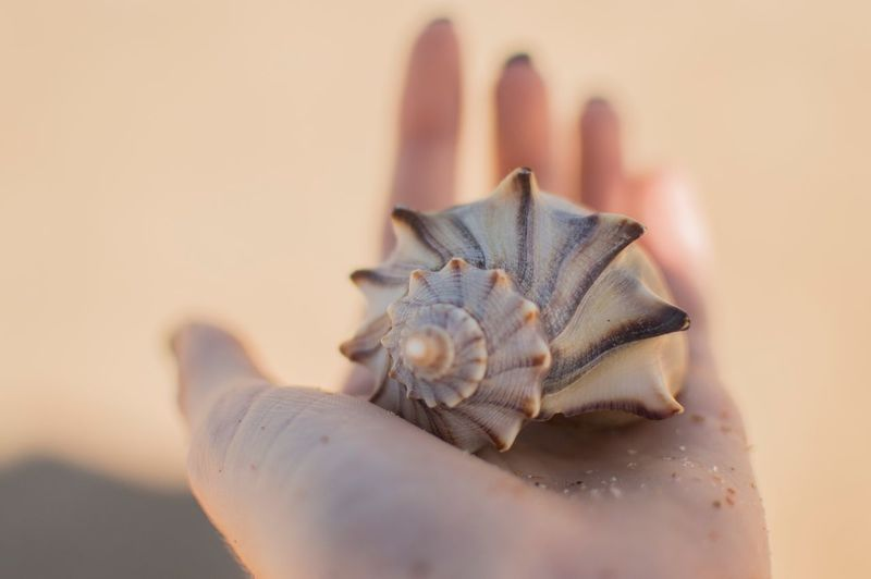 Close-Up Of Woman Holding Conch Shell At Beach