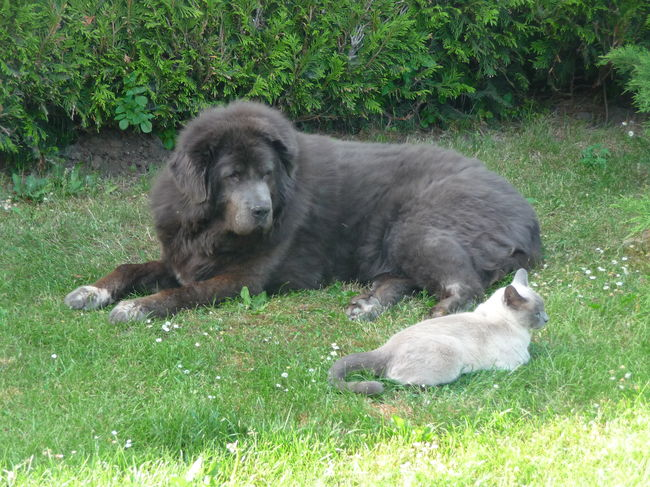 Animal Friends Animal Themes Cat And Dog Domestic Animals Field Grass Grassy Green Color Lying Down Mammal Nature Outdoors Pets Relaxation Resting Siamese Cat Tibetan Mastiff Two Animals