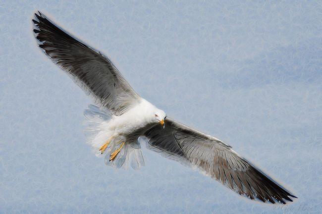 Topaz EyeEm Best Edits EyeEm Birds Bird Photography Lesser Black Backed Gull Seagull No People Bird Gulls Sea Bird