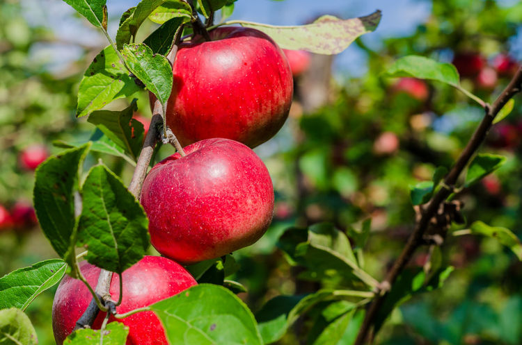 Apple - Fruit Close-up Day Focus On Foreground Food Food And Drink Freshness Fruit Fruit Tree Green Color Growth Healthy Eating Leaf Nature No People Outdoors Plant Plant Part Red Ripe Tree Wellbeing