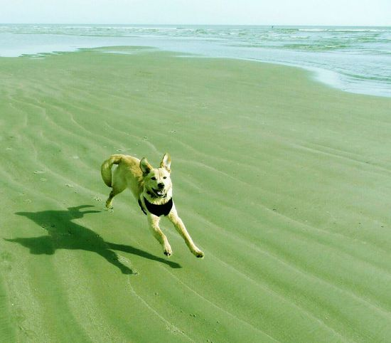 Happy Dog Sea One Animal Water Beach Mammal Nature Domestic Animals Animal Themes Outdoors No People Pets Day Love To Run Isle Of Palms Paw Print Freedom Smiling Puppy Sand In My Paws Golden Retriever Running Labrador Retriever Beach Hair Dont Care Live For The Story Summer Exploratorium
