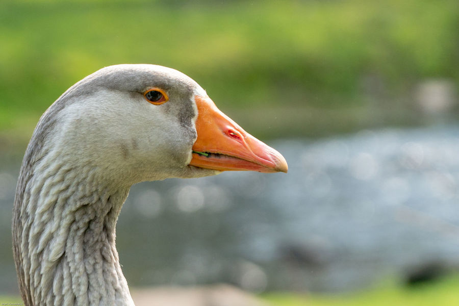 EyeEm Selects Bird Beak Close-up Animal Body Part Greylag Goose Goose Geese Animal Eye HEAD Gosling Eye Water Bird Young Bird Yellow Eyes Canada Goose
