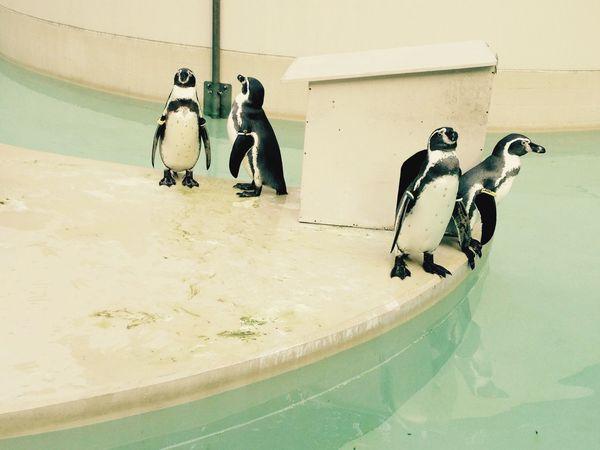Tokyo Tokyo,Japan Japan Zoo Zoo Animals  Penguin Penguins Inokashira Park ZOO-PHOTO Zoopark Pool Pool Time Pastel Power