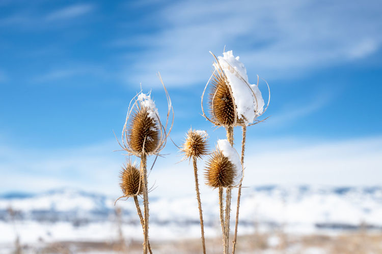 Dry thistles in winter - the snow has melted on the sunny side Colorado Plant Nature Focus On Foreground Beauty In Nature Day Close-up Flower Plant Stem Tranquility Sunlight Softness Dry Outdoors No People Thistle Winter Winter Wonderland