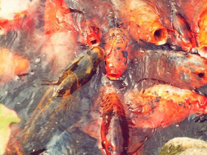 Fish Koi Mondoverde