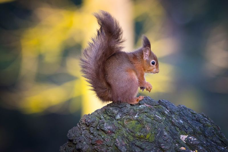 Close-up of eurasian red squirrel on rock