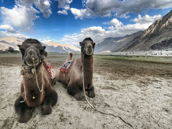 Two Is Better Than One Eyeemphoto Canon 70d Canon 10-22mm Leh Ladakh.. Nubra Valley Nubra EyeEm Best Shots India Incredible India Camels Double Hump Camels Clouds And Sky Mountains Landscape_photography Landscapes With WhiteWall EyeEm Canon_official