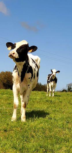 Cows Male