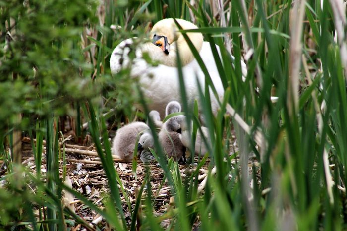 White Swan Beauty In Nature Nature Nature_collection Nesting Birds Cygnets With Swan Bird Young Animal Animal Themes Grass Plant Close-up Young Bird Cygnet Nest Bird Nest Animal Family Mute Swan Swan