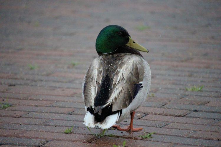 Mallard duck in